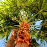 California fan palm with blue sky by San Diego Photographer Andrew Abouna