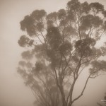 Eucalyptus tree in fog by San Diego photographer AbounaPhoto