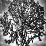 Liquidambar tree in California in black and white by San Diego Photographer Andrew Abouna