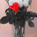 Red and white roses by San Diego Wedding Photographer Andrew Abouna-1